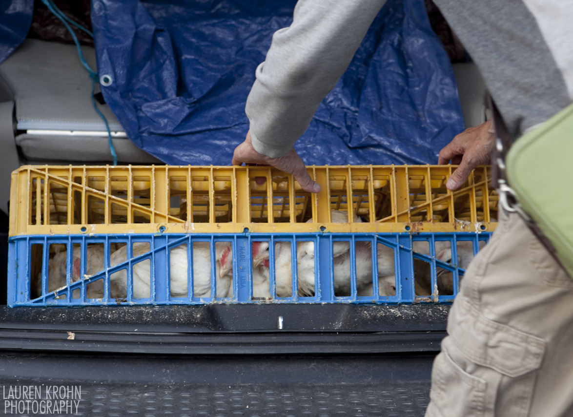 A volunteer loads rescued chickens into a van- There are at least 10, possibly 12 chickens crammed in that crate.