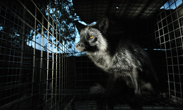 Fox on an illegal fur farm- one of the animal ambassadors in the film. Photo: Jo-Anne McArthur