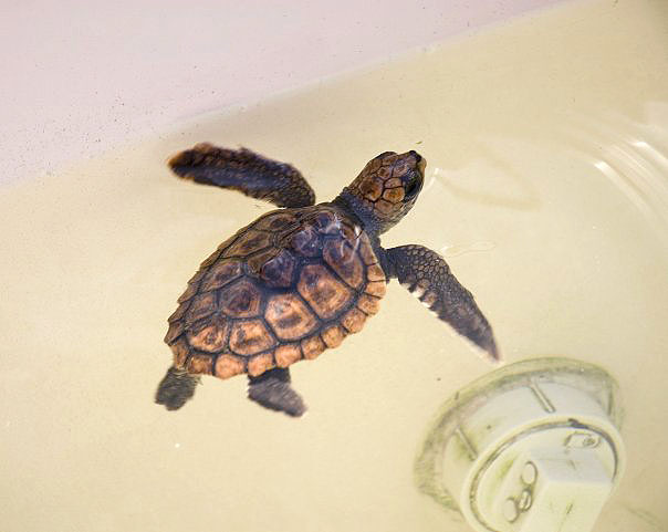 A tiny hatchling at the Turtle Hospital