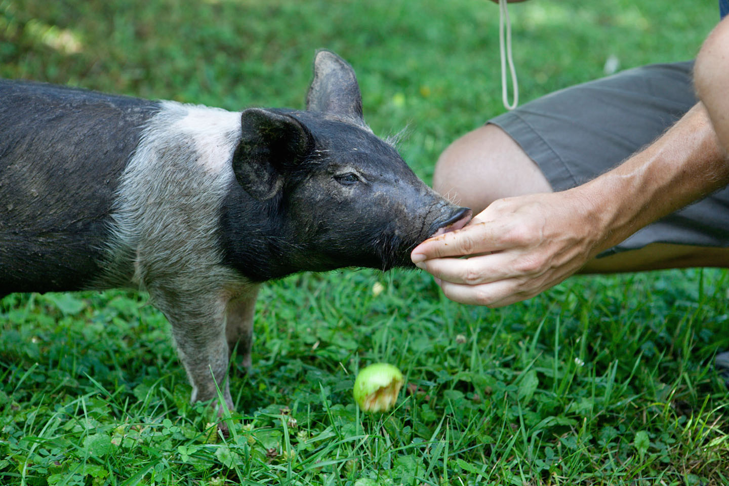 Sweet piglet at Farm Sanctuary, Watkins Glen